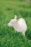 Petite chèvre blanche photo libre de droits