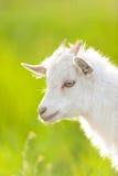 Petite chèvre blanche photos stock