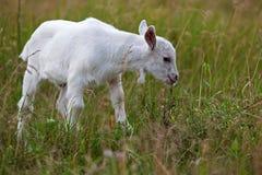 Petite chèvre blanche sur l'herbe images stock