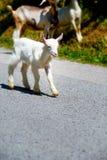 Petite chèvre de bébé avec le troupeau de chèvre marchant sur la route de montagne Image stock
