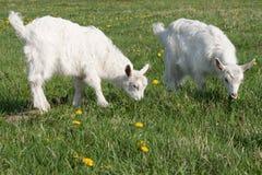 Petite chèvre deux Photo libre de droits