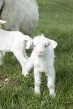petite chèvre frôlant sur un champ Photographie stock