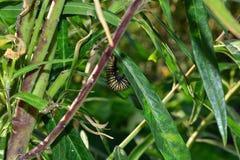 Petite chenille de papillon de monarque rampant sur l'usine de milkweed, mangeant dans le jardin dehors environ pour tourner le c Photo libre de droits
