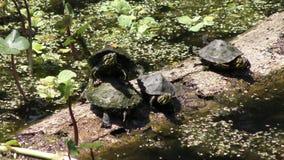Petite chute de tortues dans l'eau clips vidéos