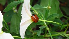 Petite coccinelle marchant sur une belle fleur blanche images libres de droits