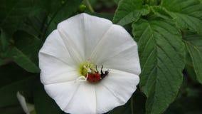 Petite coccinelle tombée sur une belle fleur blanche photos libres de droits