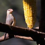 Petite consommation d'oiseau Photo libre de droits
