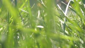 Petite créature animale courant par l'herbe trottinant par la traînée - mouchard de point de vue de POV jusqu'à un voisinage de m banque de vidéos