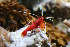 Petite crayfish. A small red crawfish at a coral riff royalty free stock photo