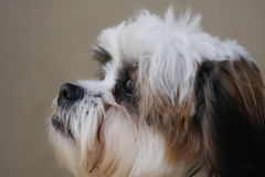 Petite dog. Profile shot of a small cute dog Royalty Free Stock Photo