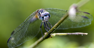 Petite Emerald Dragonfly Macro - Dorocordulia lepida Royalty Free Stock Photos