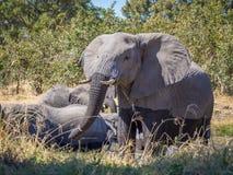 Petite famille des éléphants africains se tenant en rivière de Kwai buvant, Moremi NP, Botwana Photos stock