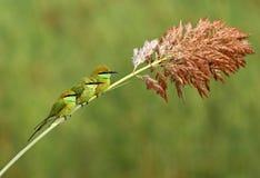 Petite famille verte de mangeur d'abeille image libre de droits