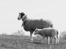 Petite ferme d'agneau et de mère au printemps Photo libre de droits