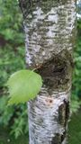 Petite feuille verte de printemps sur un fond texturisé d'écorce photos libres de droits