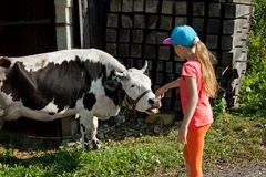 Petite fille frottant une vache Photo stock