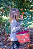 Petite fille prélevant une pomme de gala à un verger du Michigan images stock