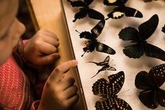 Petite fille recherchant la collection d'entomologie de papillons tropicaux photographie stock
