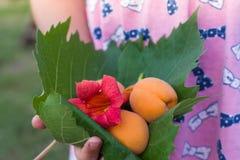 Petite fille se tenant dans la feuille de grenn de mains avec la fleur d'apricotsand Image stock