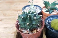 Petite fin de cactus vers le haut de vert dans le pot avec le fond en bois Images libres de droits