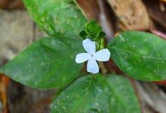 Petite fleur blanche mignonne avec des feuilles de vert - simplicité et pureté photos stock