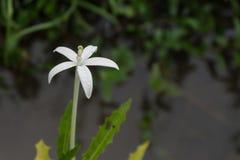 Petite fleur blanche sur le fond de l'eau et d'herbe photographie stock