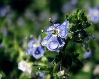 Petite fleur bleue avec des baisses sur les pétales images libres de droits