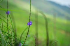 Petite fleur bleue simple d'isolement dans des prés à l'arrière-plan image douce et romantique saisie de Ponmudi images stock