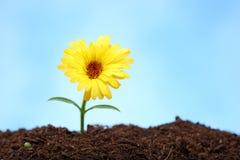 Petite fleur d'isolement sur bleu-clair photo libre de droits