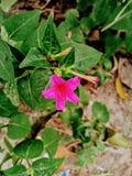 Petite fleur indienne photographie stock