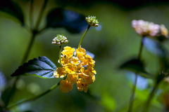 Petite fleur jaune avec des bourgeons Photo stock