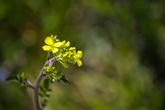 Petite fleur jaune spontanée Photos stock
