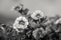 Petite fleur noire et blanche de fleur Images libres de droits