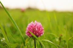 Petite fleur rose de trèfle de fleur dans l'herbe verte d'un champ Image stock