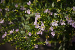 Petite fleur rose molle de bruyère fausse Photos stock