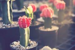 Petite fleur rouge de cactus Photographie stock libre de droits