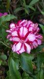 Petite fleur rouge et blanche Photographie stock libre de droits