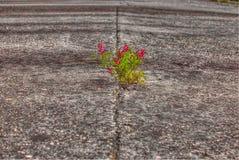 Petite fleur rouge sur la vieille route abandonnée, Espagne photo stock