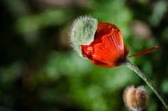 Petite fleur sauvage orange de pavot en fleur Beau plan rapproché de pétales de fleur de ressort en mai Images libres de droits