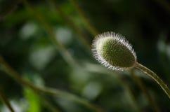 Petite fleur sauvage orange de pavot en fleur Beau plan rapproché de pétales de fleur de ressort en mai Image libre de droits