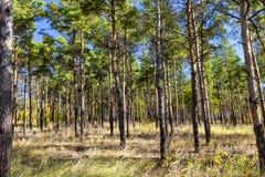Petite forêt de pin de pins avec les troncs nus images libres de droits