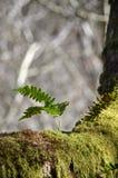Petite fougère s'élevant sur un arbre couvert dans la mousse Images stock