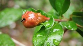 Petite fourmi de charpentier mangeant la grenade non mûre photo libre de droits
