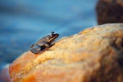 Petite grenouille photo libre de droits