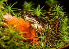 Petite grenouille Photos stock