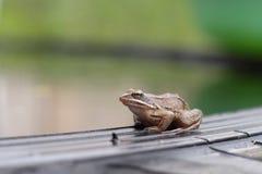 Petite grenouille images libres de droits