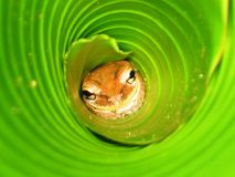 Petite grenouille Photographie stock