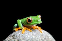 Petite grenouille curieuse d'isolement sur le noir images stock