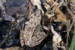 Petite grenouille en nature Photos stock