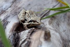 Petite grenouille en nature Photos libres de droits